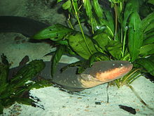 Learn more about Electric eel