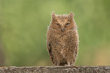 Learn more about Mountain scops owl