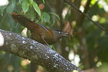Learn more about Blue-winged laughingthrush