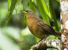 Learn more about Rufous babbler