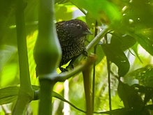 Cachar wedge-billed babbler