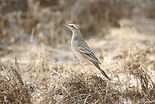 Learn more about Long-billed pipit